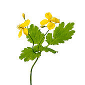 Twig of blooming  greater celandine on white background