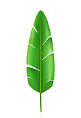 Exotic and tropical palm foliage, isolated banana leaf with wide greenery and fleshy stem. Hawaiian nature, rainforest decoration and plants of warm countries and forests. Realistic 3d cartoon vector