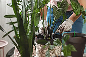 Plant transplant, woman care houseplant and transplanting plant