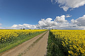 Spring landscape with blooming rapeseed fields on a sunny day