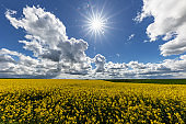 Rapeseed field on a clear sunny day