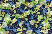 Lettuce Hydroponic farm. Lettuce Sprouts. Green Young Lettuce Plants. Lettuce seedlings. Spring Seedlings.