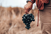 Closeup of a hand with blue ripe grapes. Fresh blue bunches of grapes. The concept of winemaking, wine, vegetable garden, cottage, harvest