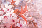 Spring Cherry blossoms Background, Blossoming cherry Close Up
