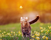 cute a striped kitten looks at a passing butterfly on a sunny day in a summer meadow