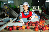 Woman worker sorting and preparing nectarines for packaging