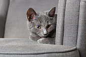 Beautiful young gray kitten