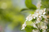 White cherry flowers, spring blooming