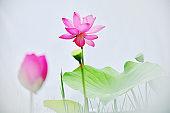 Lotus water lily around fog