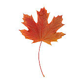 Colorful autumn maple leaf on a white isolated background