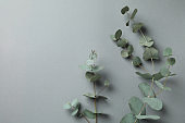 Beautiful eucalyptus plant twigs on gray background