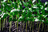 Potted pepper seedlings