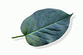 green leaf and shadow isolated on white background