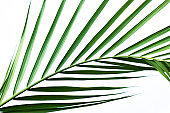 closeup coconut palm leaves isolated on white background