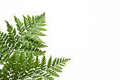 leaves of fern isolated on white background for design elements