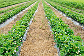 rows of strawberries in bloom on a farm nestled black film and straw.