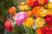 Bouquet of Persian buttercups flowers, ranunculus asiaticus background.