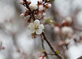 Blooming apricot branch in the rain.