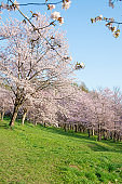 Park with cherry blossoms in full bloom in a sunny spring day