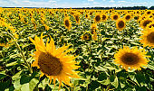 Field of blooming sunflowers with blue sky background, free space. Sunflower field over cloudy blue sky, copy space. Summer landscape. Agriculture, agronomy and farming background. Harvest concept