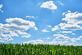 Young organic green corn field and blue sky with beautiful clouds at sunny summer day, copy space. Nature background