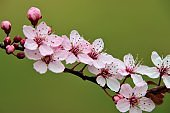 Close-up view with selective focus applied, depicting a few branches of a plum tree in blooming season.