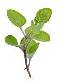 Fresh herb isolated on white background