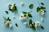 White Jasmine flowers on blue background. Spring flower background. Flat lay, top view.