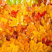 Colorful wet fall leaves as background. Autumn composition, rainy day. Maple leaves texture