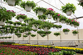 Plantations multicolored blooming begonias with green leaves, and petunias in white pots hanging from ceiling