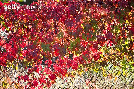 Parthenocissus ( Vine )