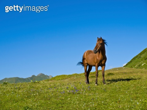 young brown horse standing in mountan meadow