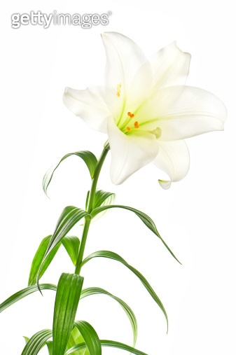 lily flowers head on white background