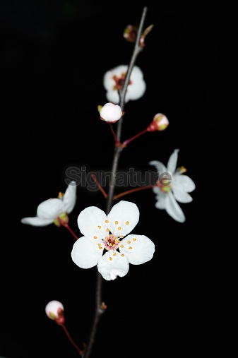 Blooming Plum blossom twig isolated
