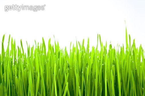 Fresh Green Grass with Drops Dew / isolated on white