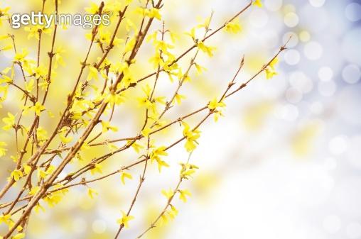 Spring bright yellow of blooming forsythia bokeh
