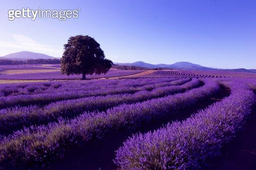 Lavender Farm at Nabowla, Tasmania, Australia