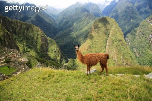 Lama in Macchu Picchu, Peru, South America