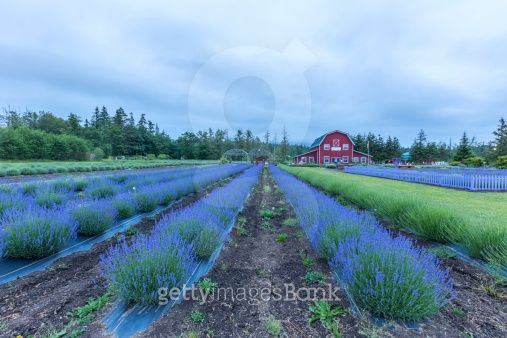 Lavender Farmland and Gift shop
