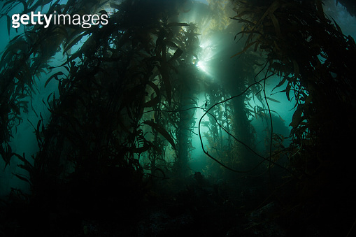 Kelp Forest and Light
