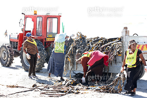 Workers clearing kelp off South African beach
