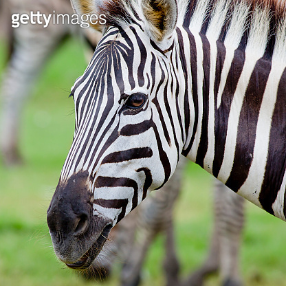 Headshot of a Burchell's Zebra