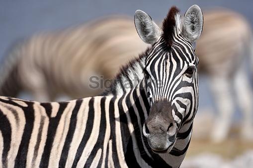 zebra in namibia