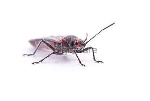 black roach