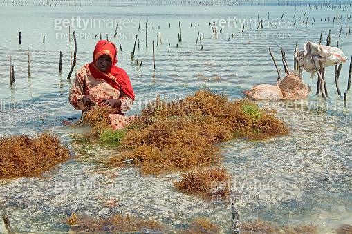Seaweed farming - Zanzibar
