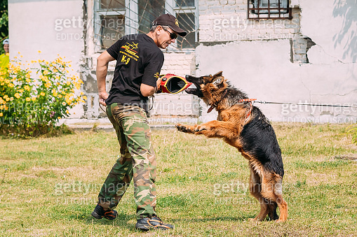 German shepherd Alsatian Wolf Dog dog training. Biting dog.