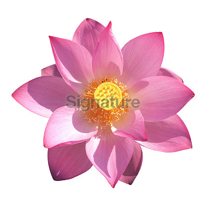 Blooming lotus flower isolated white