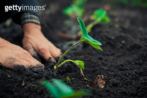 The old man hand hand holds a green plant to plant. Concept: Hope to new life