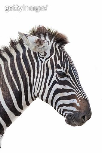 zebra closeup portrait