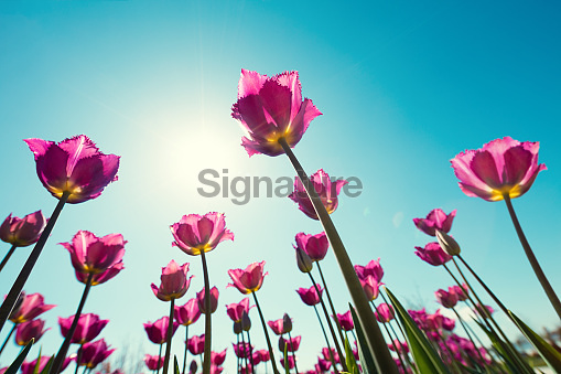 Tulip Flowers On a Sunny Day